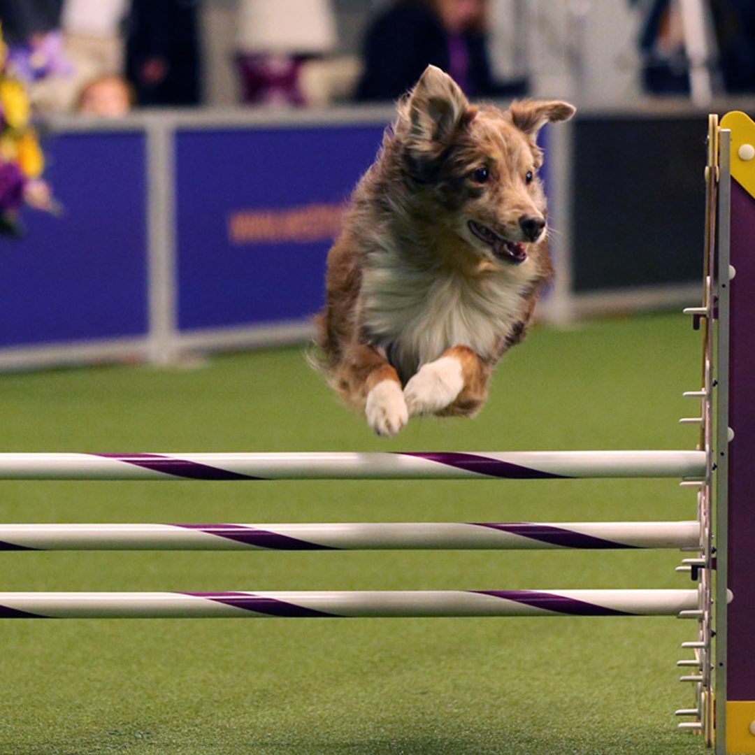 dog show, things to do in nyc this week